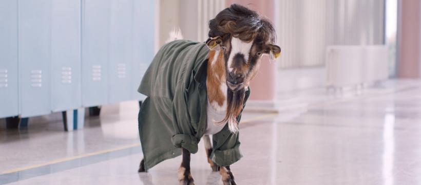 chèvre habillée