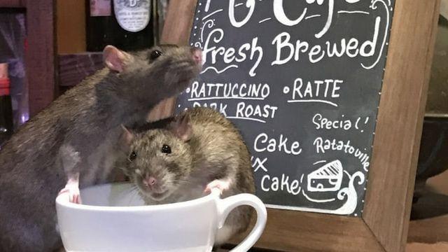 Cafe à rats