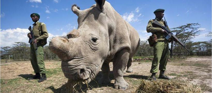 sudan rhinoceros