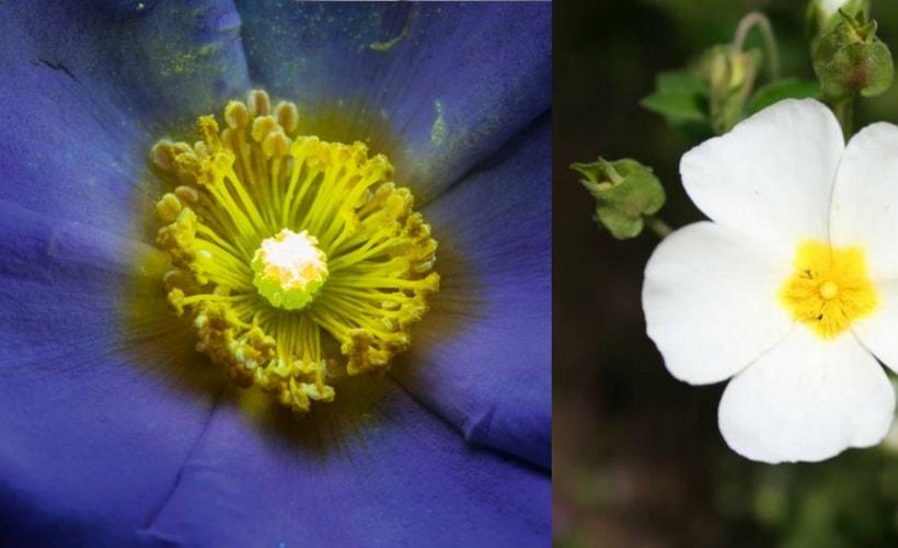fleur de ciste à la lumière ultraviolette