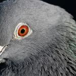 une tête de pigeon