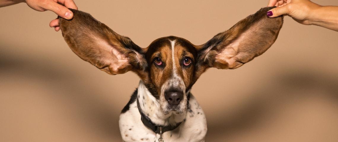 Une chien avec des grandes oreilles