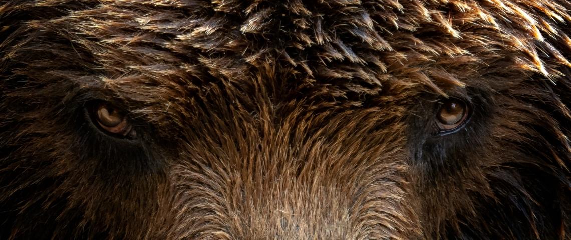 regard d'ours brun