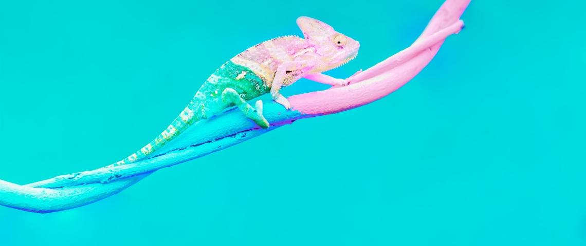 Un caméléon passant du bleu au rose