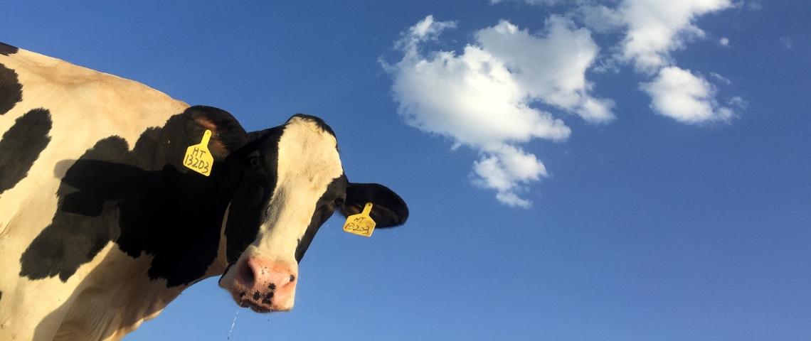 Une vache noire et blanche