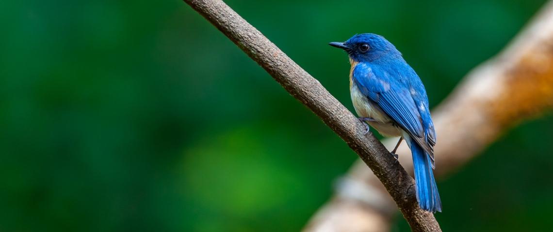 Un oiseau bleu sur une branche