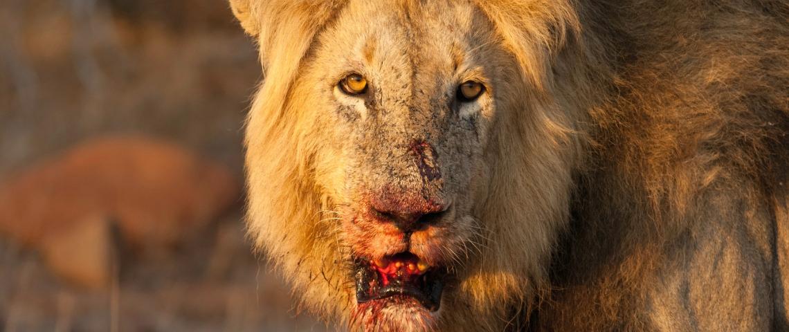 Un lion avec la gueule ensanglantée