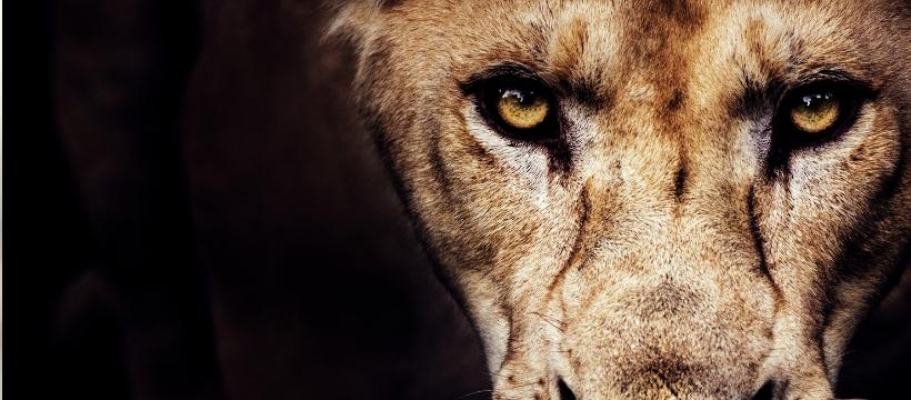 lionne face fond noir colère