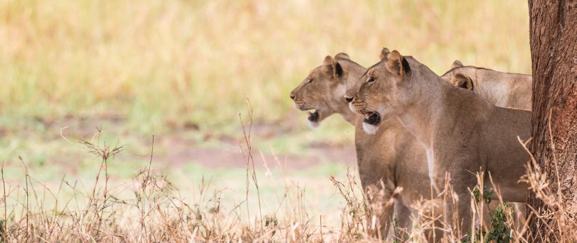 Trois lionnes