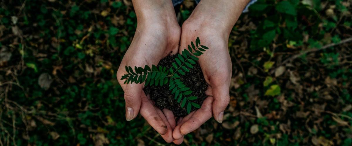 Deux mains tiennent une plante verte