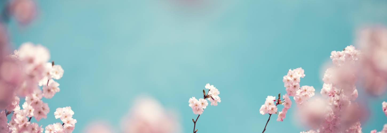 ciel bleu avec des cerisiers en fleurs