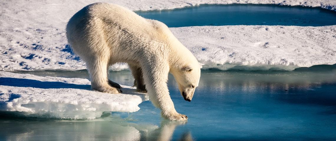 Un ours polaire marchant sur la banquise fondue