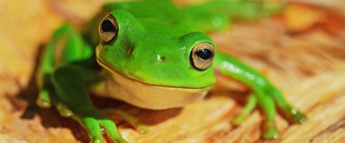 Gros plan d'une grenouille sur du bois