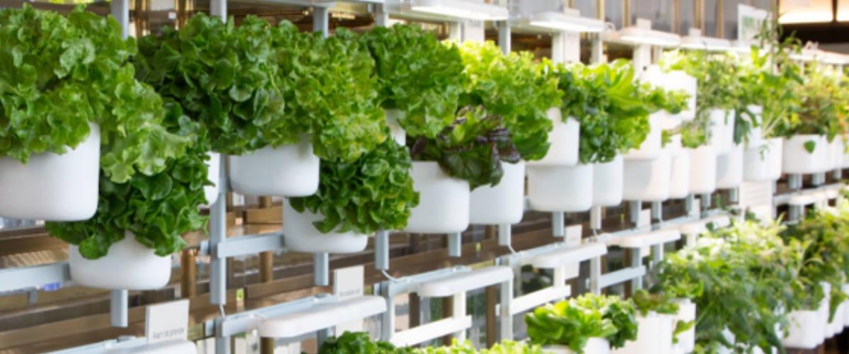 Mur végétal composé de salades