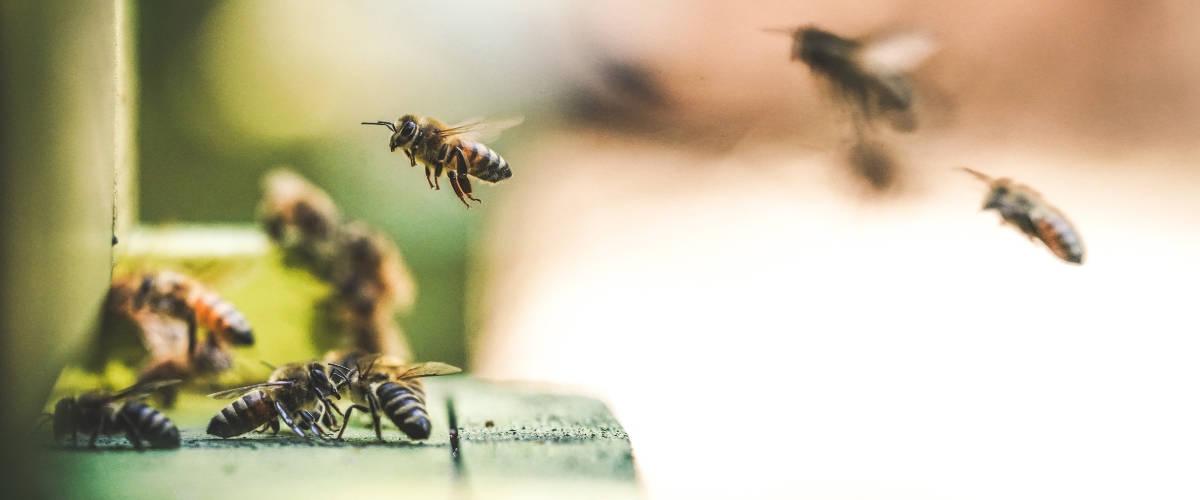 Des abeilles rentrent dans leur ruche