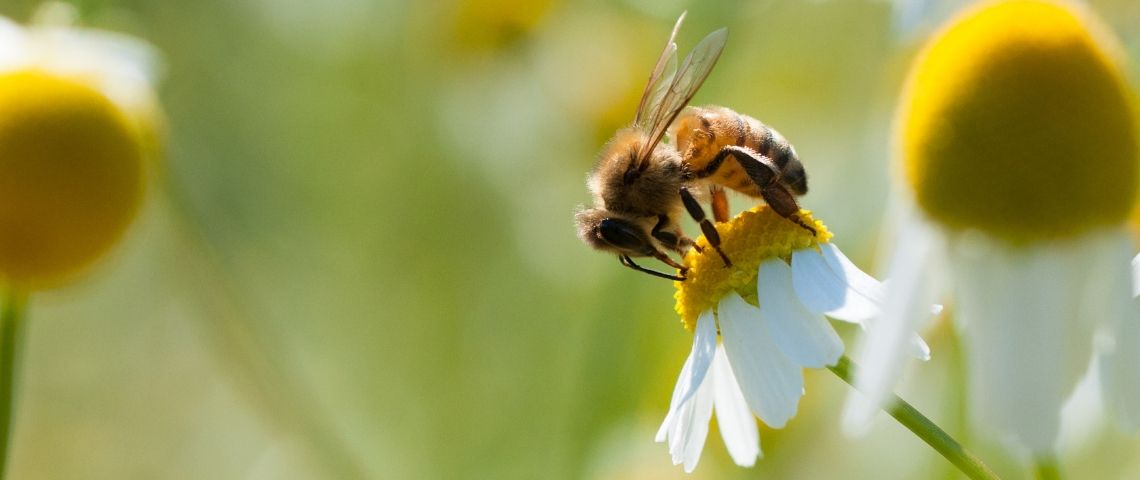Une abeille pollinise une fleur jaune