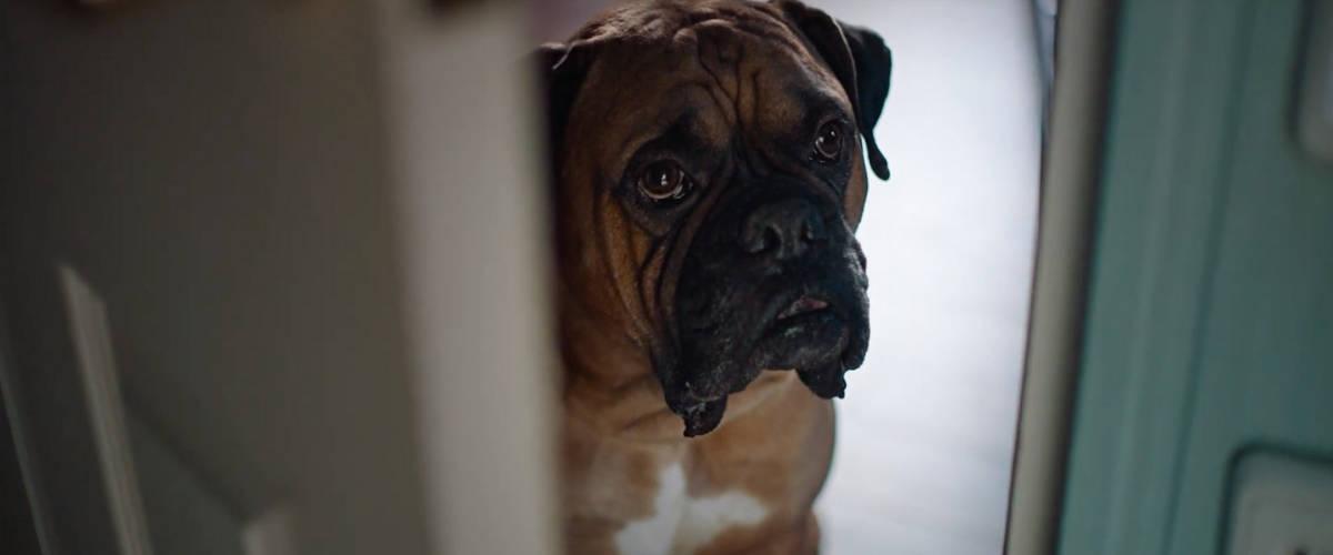 Un chien de race boxer regarde au travers d'une porte