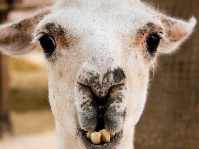 une tête de lama blanc