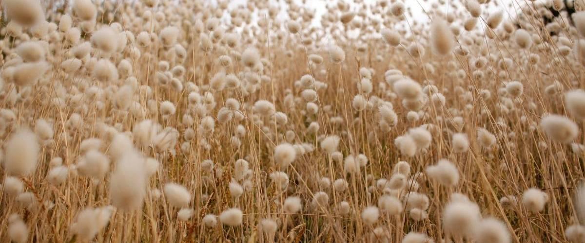 Photo prise à l'intérieur d'un champ de coton