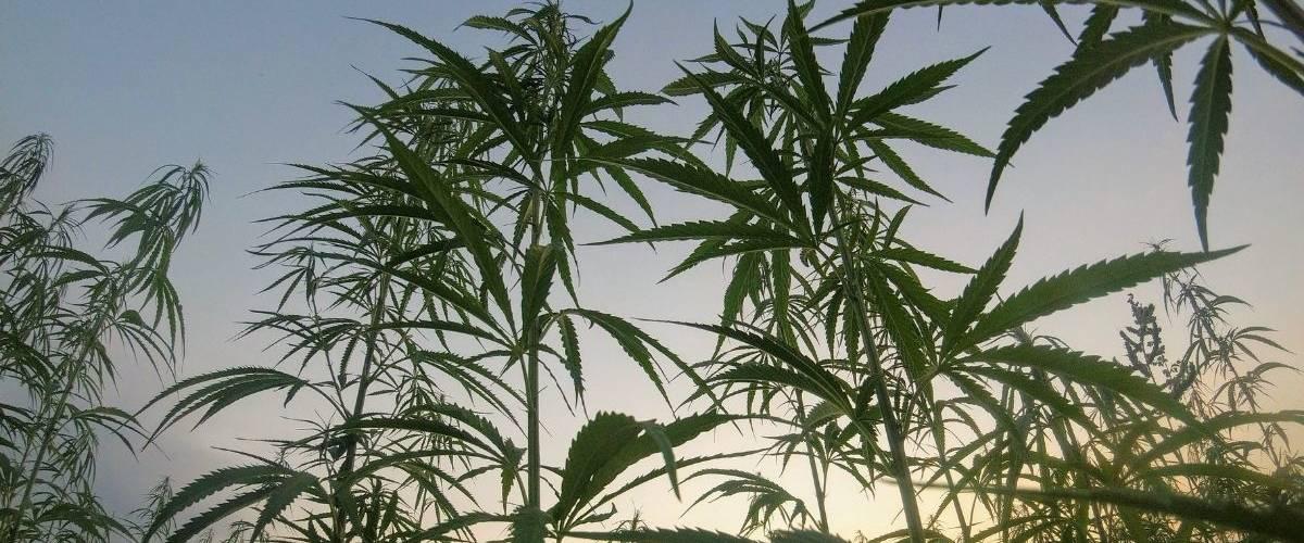 Une plantation de cannabis sous un couché de soleil