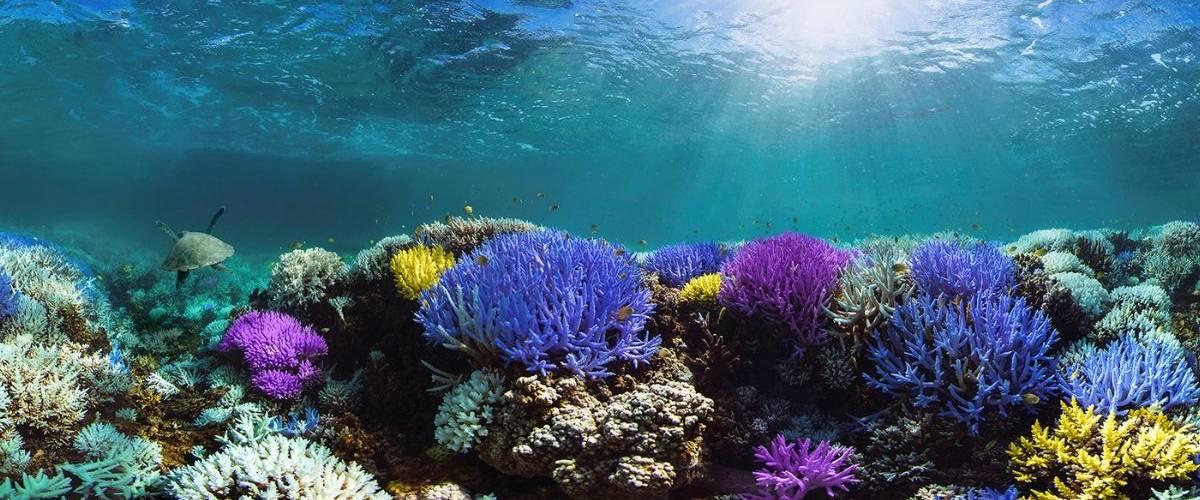 Coraux aux multiples couleurs, en Indonesie
