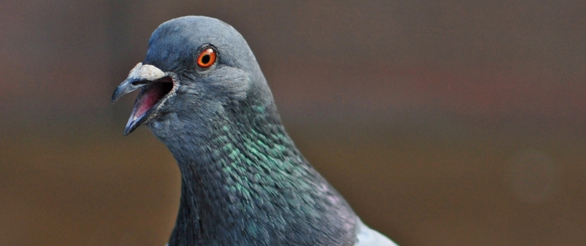 une tête de pigeon en gros plan