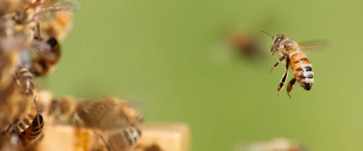 Une abeille qui rentre dans sa ruche