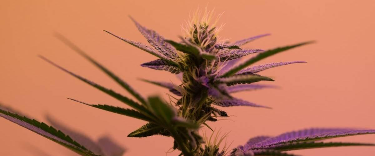 Un plante de cannabis