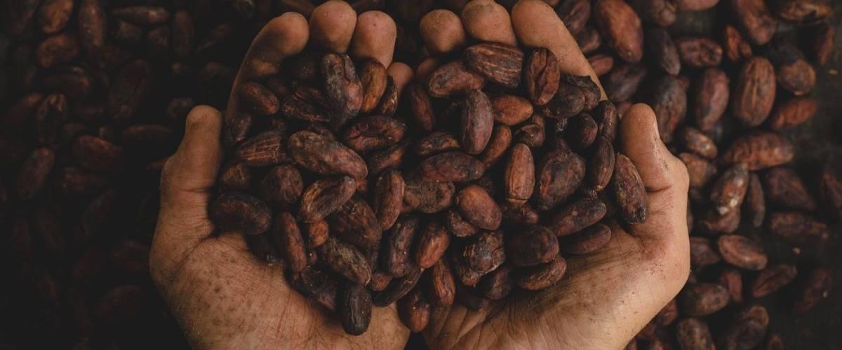 Un tient des fèves de cacao dans ses mains