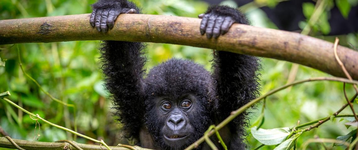 Gorille dans la forêt