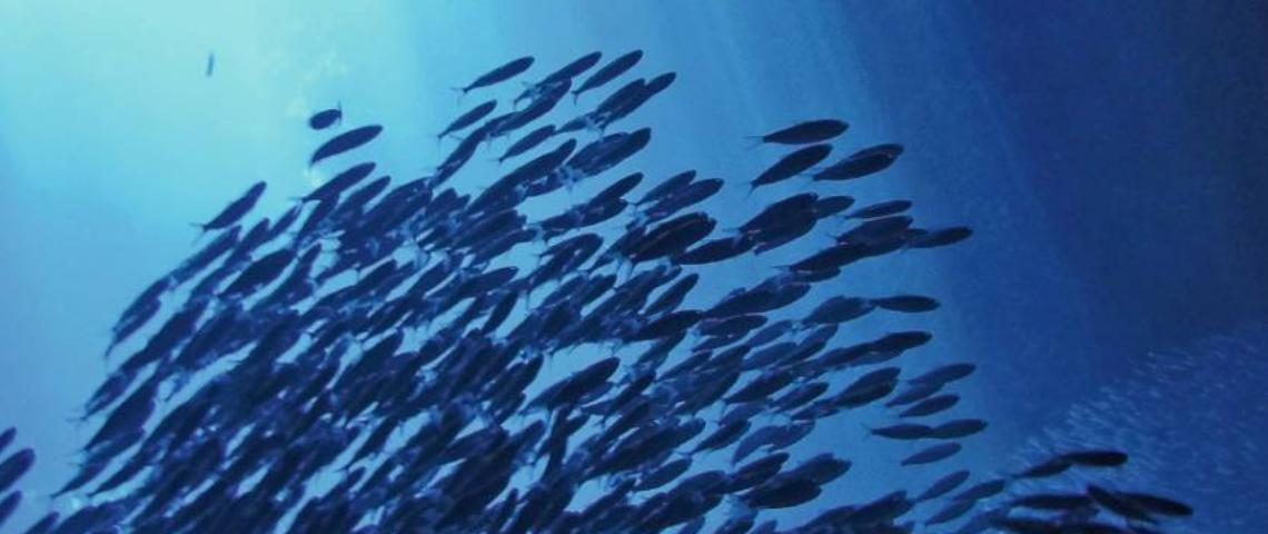 Visuel d'un banc de poissons