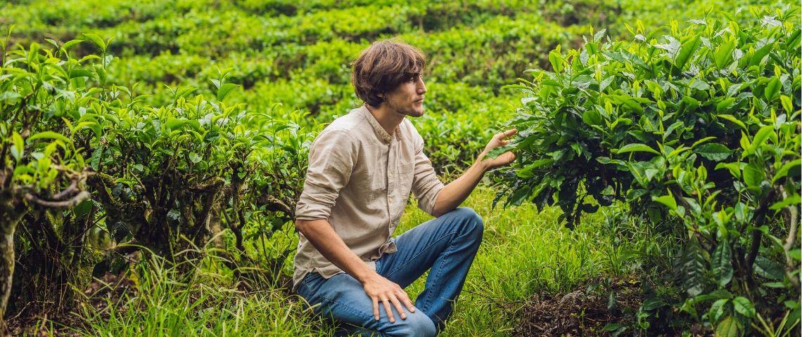 Un homme dans un champs de thé
