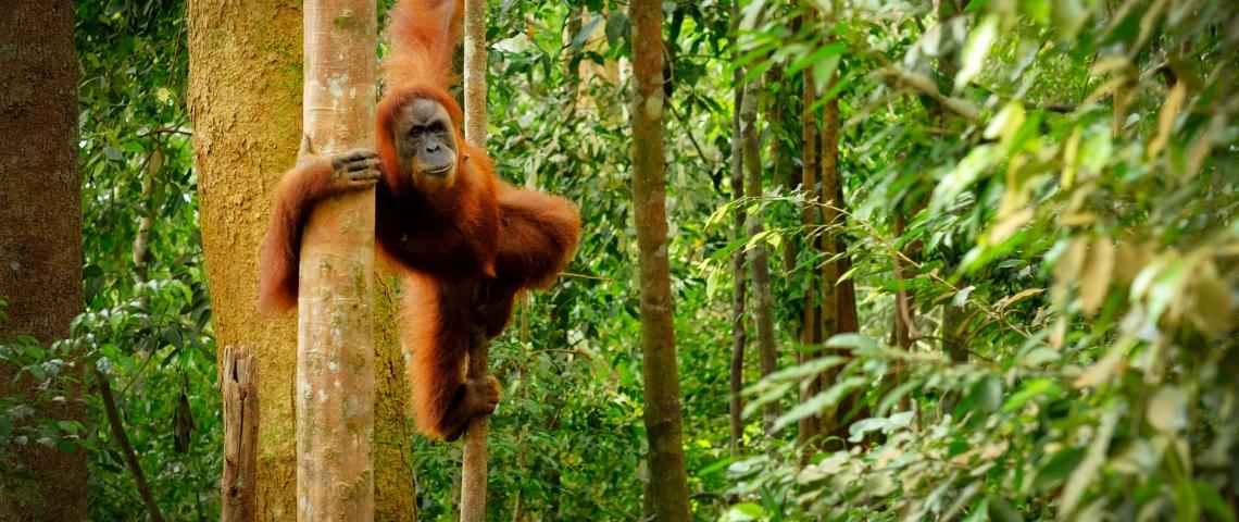 Un orang outan dans la forêt