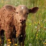 photo d'un agneau dans un pré