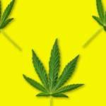 papier peint cannabis