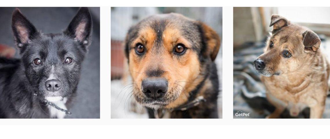 3 chiens mis à l'adoption via l'application GetPet