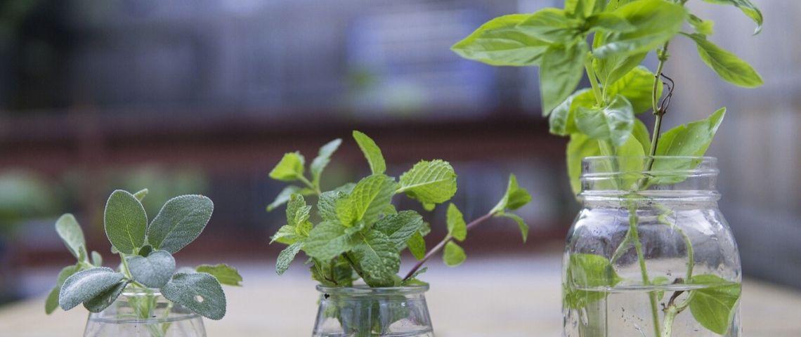 Plantes aromatiques dans des petits bocaux