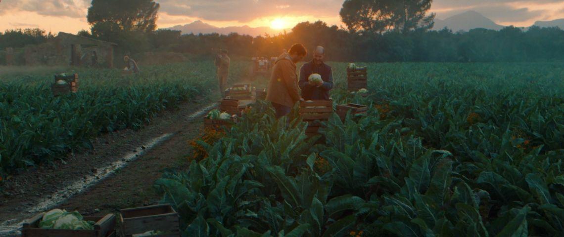 Hommes dans un champ ramassant des choux fleurs