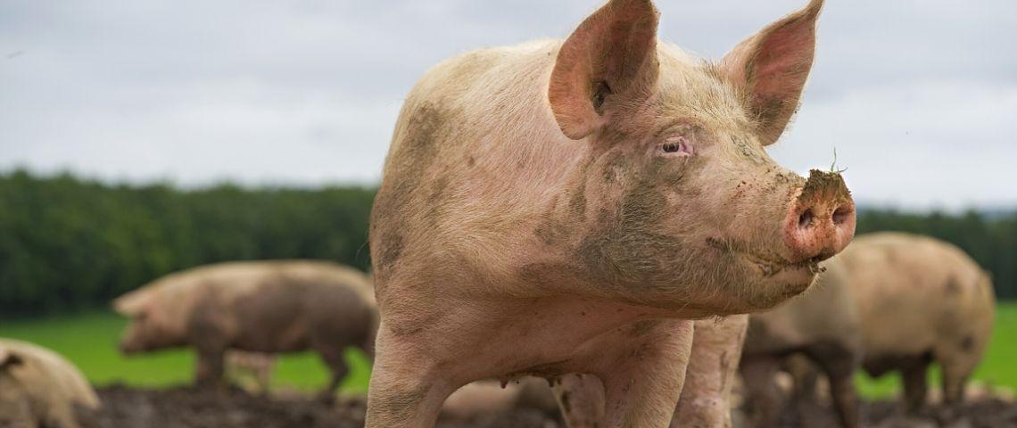 Un cochon dans un champ