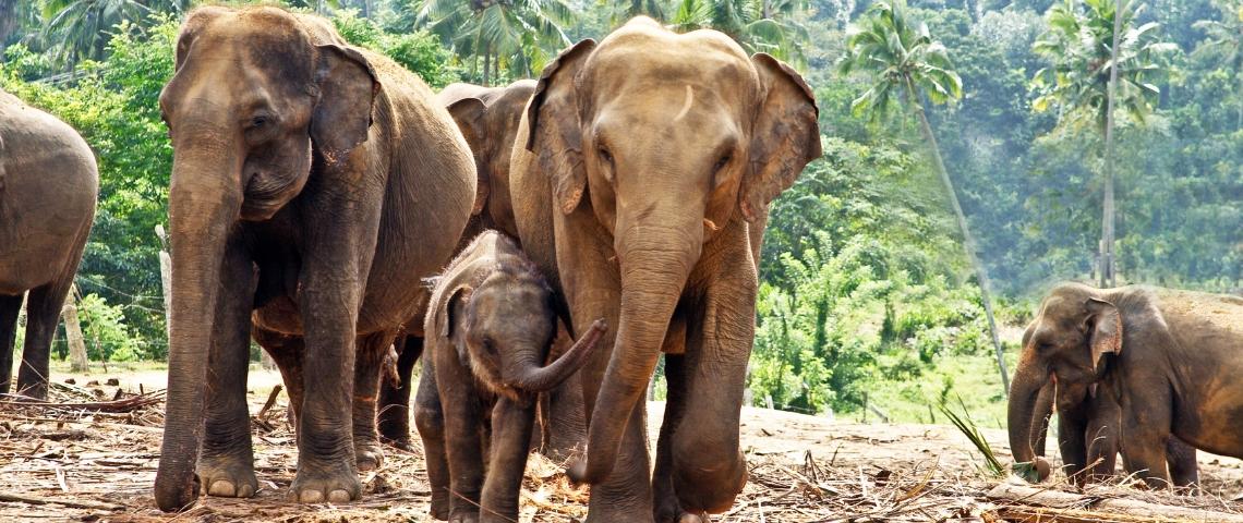Une famille d'éléphants dans la jungle au Sri Lanka