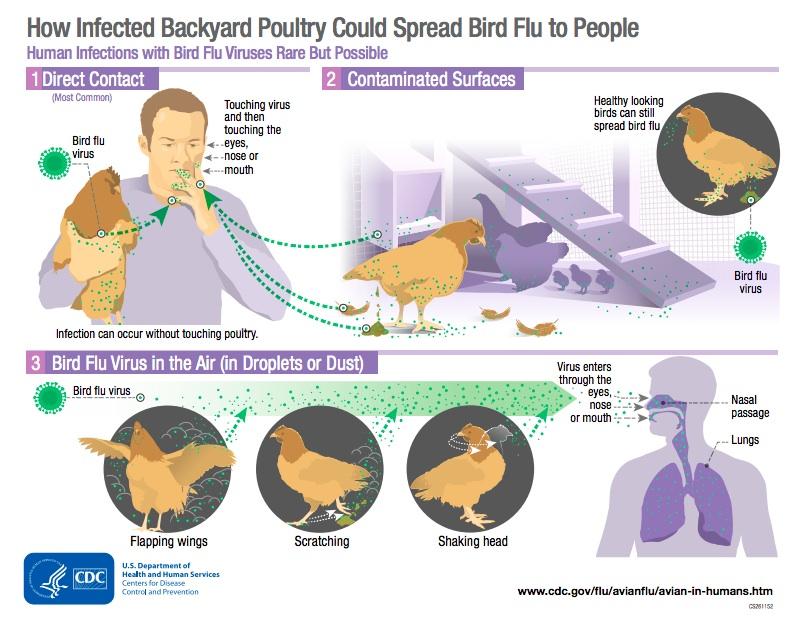 infographie Transmission de la grippe aviaire