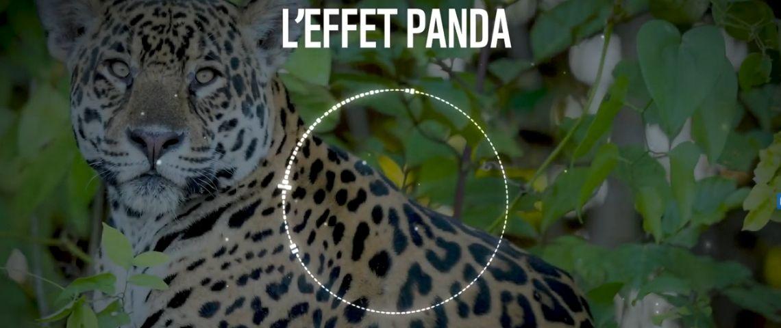 Le WWF France lance sa série de podcasts : l'Effet Panda