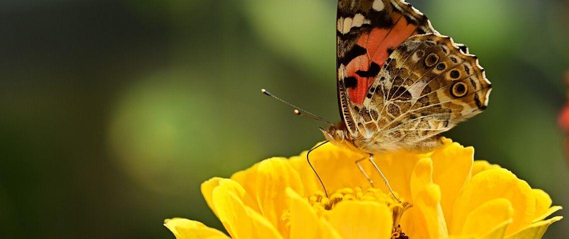 Papillon butinant une fleur jaune
