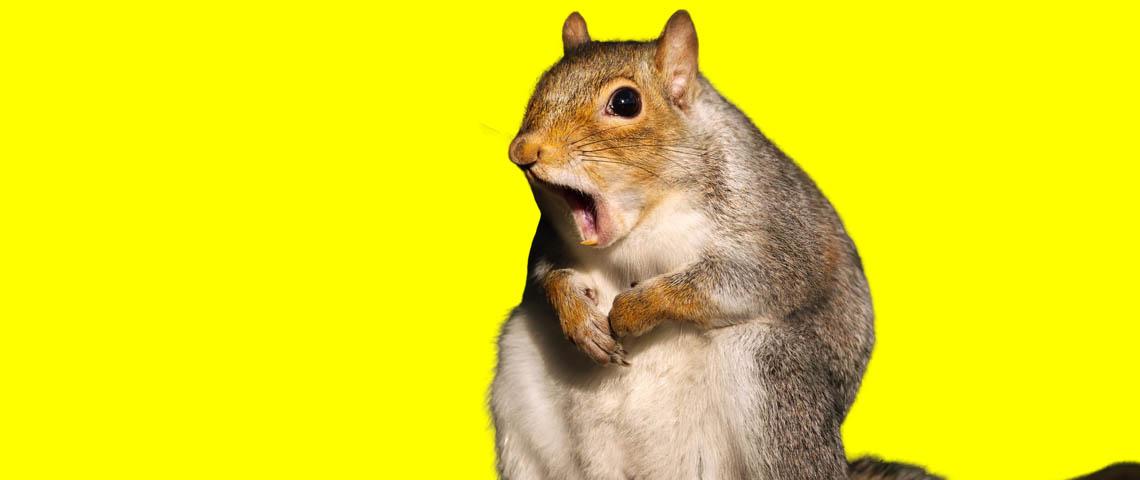 un écureuil sur fond jaune