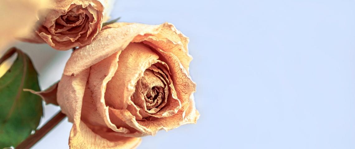 Des roses fanées sur un fond bleu