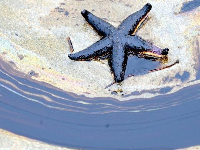 Une étoile de mer dans du mazout
