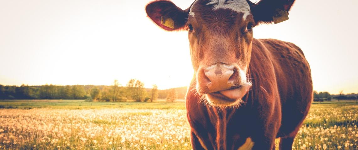 Une vache dans un pré
