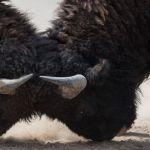 Deux bisons qui se battent