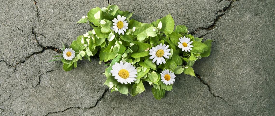 des fleurs poussant à travers du goudron