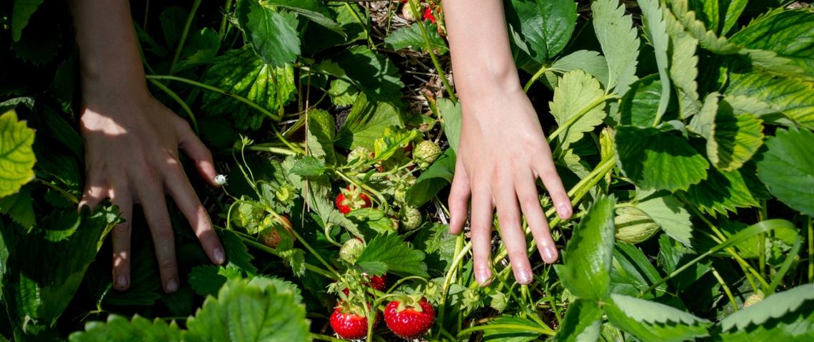 Deux mains cueillent des fraises dans la nature